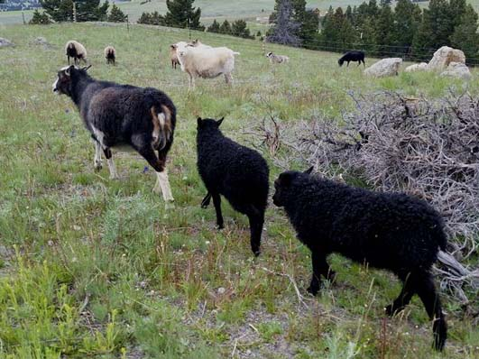 Icelandic Lambs For Sale — Dark and Dante