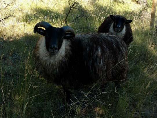 Icelandic Lambs For Sale — Dylan