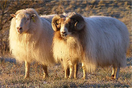 Elkhorn Icelandic Sheep website