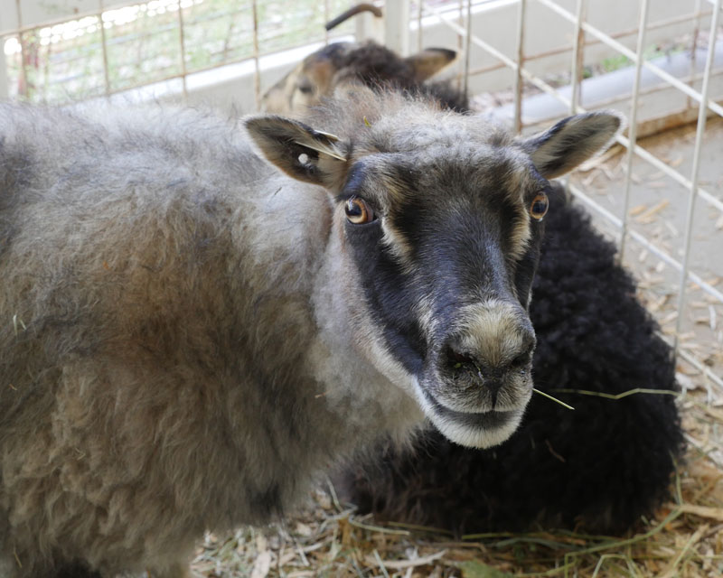 Image of an Icelandic ewe