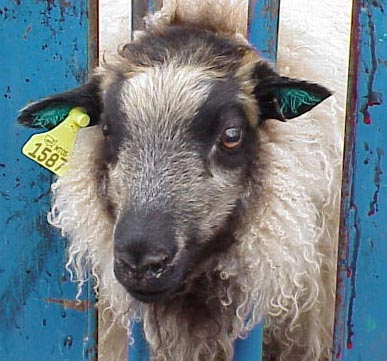 Image of tattooed and tagged sheep