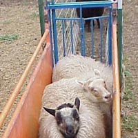 Image of sheep waiting in chute