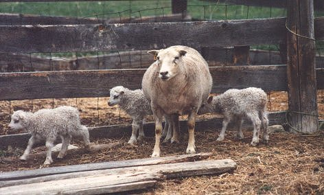 Image of white Icelandic ewe resting with lambs